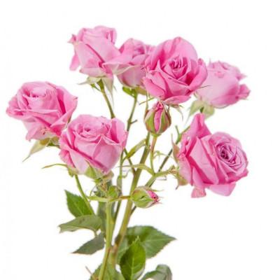 Роза кустовая 50 см